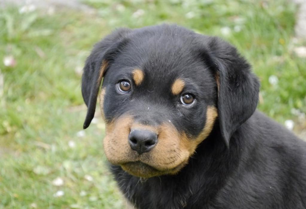 Dejlig Tilbyder: Rottweiler hvalpe søger et kærligt hjem - De Små Annoncer VD-46